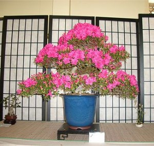 Azalea bonsai in full bloom!